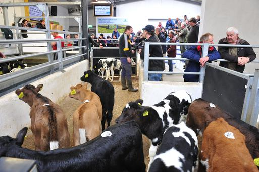 A view of the after sales area in New Ross calf sales. Roger Jones
