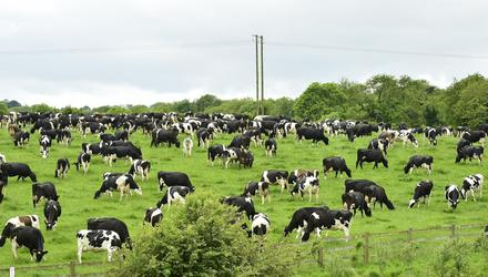 'Envy of the world': Dairy cattle grazing in Co Wexford. Photo: Roger Jones.