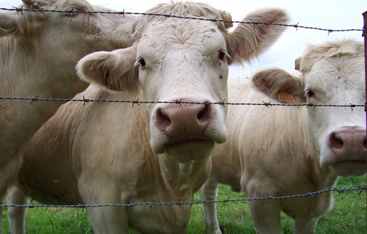 Cattle prices are on the up as a result of EU restrictions on Brazilian beef imports