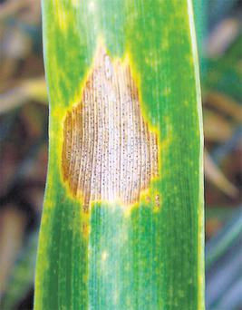 Septoria has developed mechanisms to tolerate more fungicide (before, the fungicide controlled them) and these strains have been classed as mutations