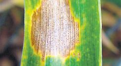 Septoria may start to get a foothold