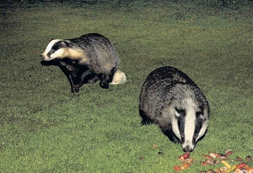 British authorities are planning to put badgers on the pill