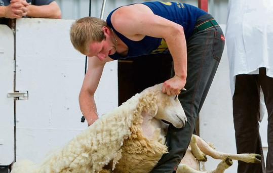 Denis O'Sullivan taking part in the Sheep Shearing and woll handling Championships at the 2011 Sheep and Wool festival in Cillin Hill Kilkenny over the weekend. Picture Dylan Vaughan.
