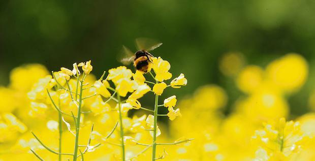 Summer is here in all its glory as the sight of bees feeding on oilseed rape confirms