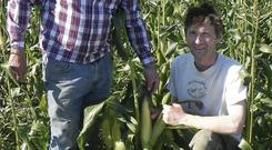 Stellar Corn: Agronomist John Hogan with organic veg grower Liam Ryan in some of Liam's impressive looking sweetcorn
