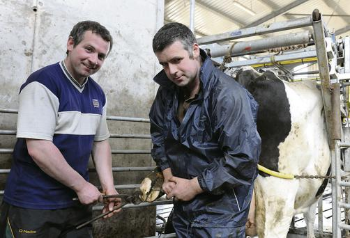 LOOKED AFTER: Ruben Babs, a pedigree Holstein Friesian cow gets her feet trimmed by Louth man Michael Begley, Senior Hoof Care operator (right) with FRS Network while farm owner Leo Collins assists