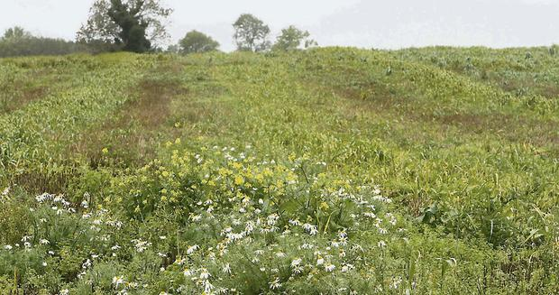 TAKING OVER: Lush carpets of weeds and volunteer cereals are a common sight on stubbles this year