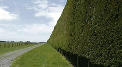 PROTECTION: Leylandii hedgerows, like this 20ft one seen on a New Zealand farm, could offer great shelter to lambing ewes during the winter