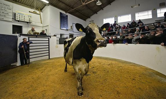TESTING TIMES: This cow sold well at Cahir Mart last week but farmers are struggling to get the price up much at the factories JENNIFER O'SULLIVAN