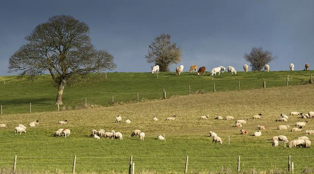 The benefits of grazing cattle and sheep together cannot be exaggerated.