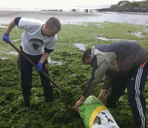 Sea lettuce (Ulva lactuca) being collected on Harbour View Strand, Timoleague, Co Cork by UCC researchers Davey Wall from Gorey, Co Wexford and Eoin Allen, Riverstick, Co Cork