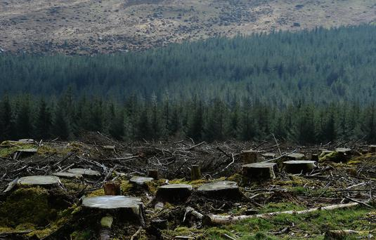 Concern: The pine weeval has long been a threat to replanted forests across Ireland. Foresters are now concerned that a potential EU proposal to ban cypermethrin could heighten the problem. Photo: Roger Jones.
