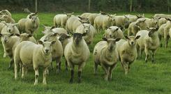 All the big jobs of the summer are now over and John Fagan can concentrate on his sheep.