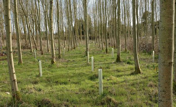 Preservation: Hornbeam planted as an understory in ash using plastic tubes for protection