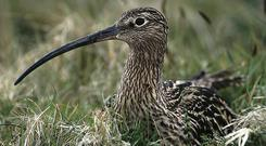 GLAS plans to target the endangered large curlew bird