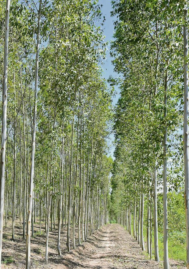 Popular: Demand for eucalyptus has grown in recent years and it is now seen as an alternative crop for energy use