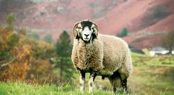 Sheep, particularly an athletic ram, manage to scupper organized plans