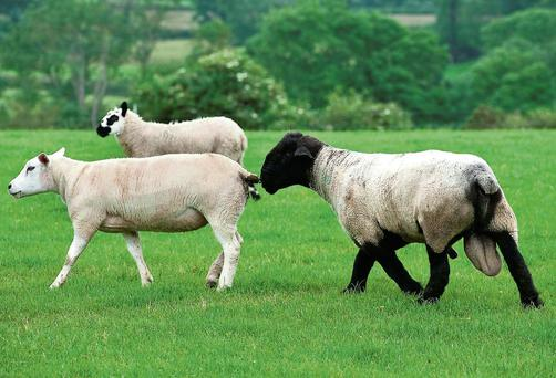Early indications for the breeding ewe trade are positive with brisk demand