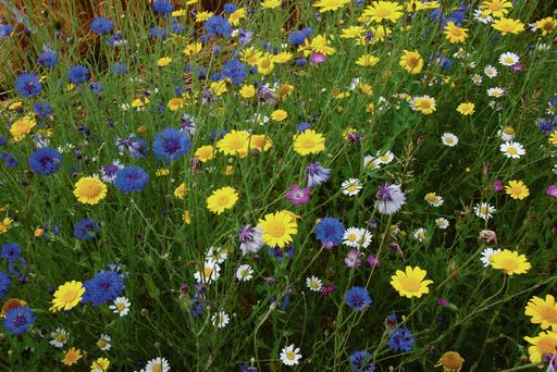 Wildflower biodiversity strip with Corn Marigold, Cornflower, Corn Cockle and Corn Camomile varieties producing a colour palette specially designed to attract bees.