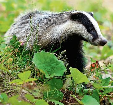 At least 6,000 badgers a year are to be culled