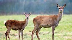 Action: Deer populations in Wicklow have grown