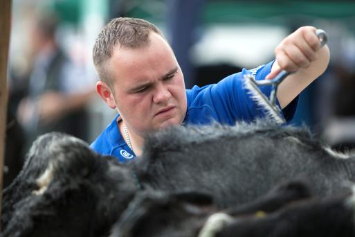 Final Brush Down: Billy Dunne, Errill, Co Laois grooming his cattle at the Ossory Show, Rathdowney, Co Laois. Photo: Alf Harvey.