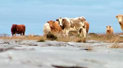 Outliers: Outwintering of cattle has been a feature of farming in the Burren for centuries. The winter grazing has also worked to control the encroachment of scrub.