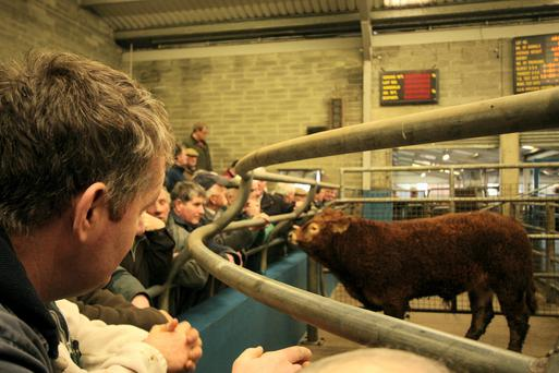 Weanling bulls have been up this week