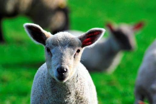 Some lambs on the farm are getting scald