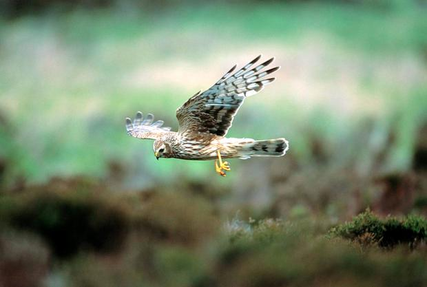 The endangered hen harrier