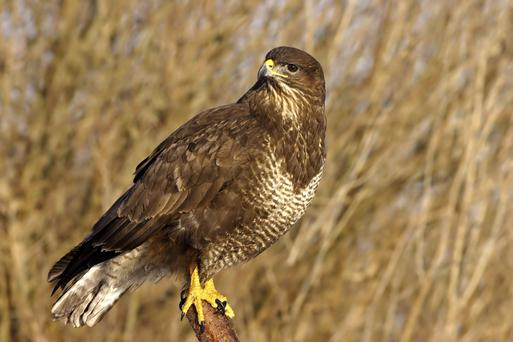 Buzzards consume pests such as rats and grey squirrels in large numbers