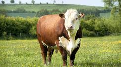 Bulls are considered most dangerous in summer