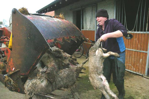 Gus Martyn disposes of the slaughtered ewes and lambs. Photo: Seamus Farrelly