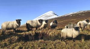 A flock of Mayo Blackface sheep in the shadow of Croagh Patrick during last week's cold snap. Photo: Conor McKeown