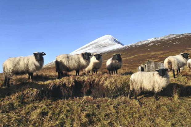 A flock of Mayo Blackface sheep