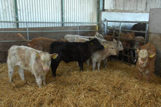 Comfort: Good housing will help prevent conditions such as pneumonia in calves