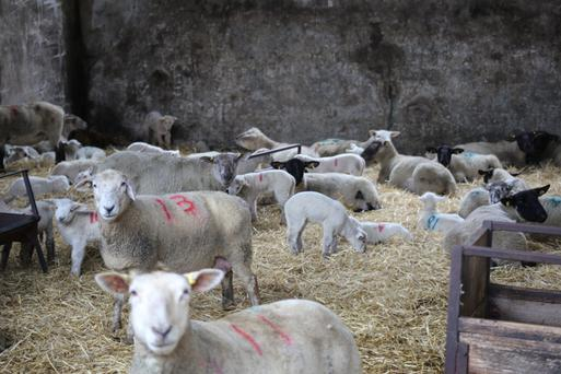 Up to 250 ewes and their lambs remain indoors