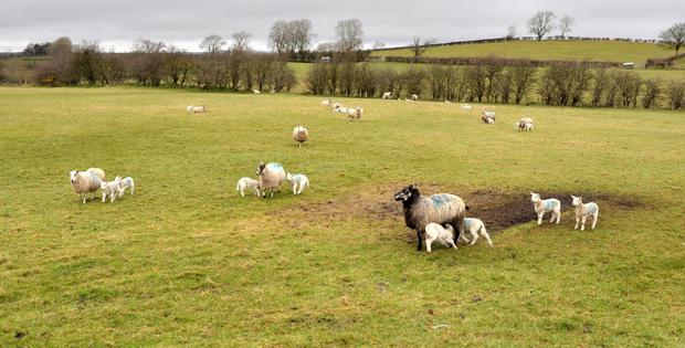 Gerald McLaughlin's flock at his farm in Feeny, Dungiven, Co Derry