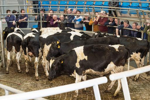 This lot of 8 Friesian bullocks sold for €6,000 at Carnew Mart. Photo: O'Gorman Photography