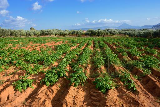 A typical Greek farming landscape featuring a potato garden with an olive grove in the background
