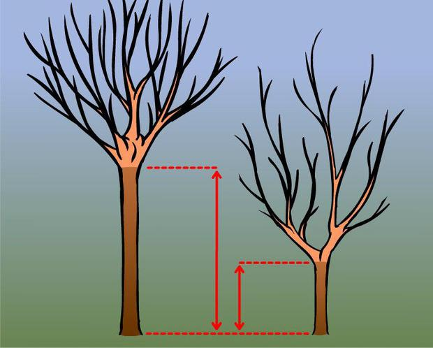 (1) The start of the crown determines the saleable length of timber. The higher up the tree this is, the more valuable the trunk becomes.