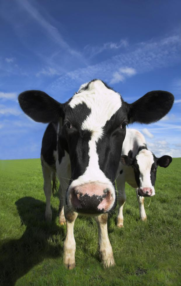 Genes: Some cows are genetically predisposed to bloat