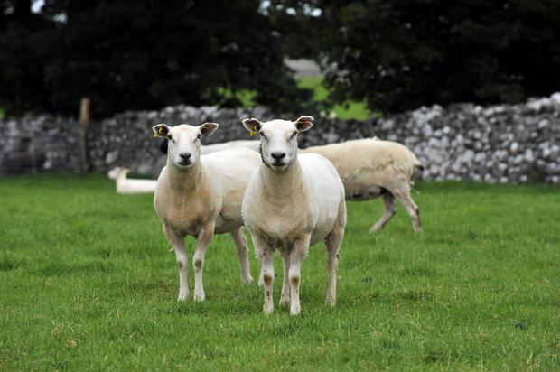 Elite Suffolk and Texel sheep from New Zeland at the Teagasc centre in Athenry. Photo: Ray Ryan