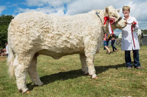 The champion Charolais at Cork Show 'Ballybrown Holly' is pictured with Elma Boyce showing for Bobby O'Connell, Clarina, Co Limerick. Photo O'Gorman Photography