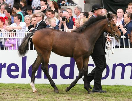 Foals competing in the inaugural Sport Horse Foal Championship must be well-handled