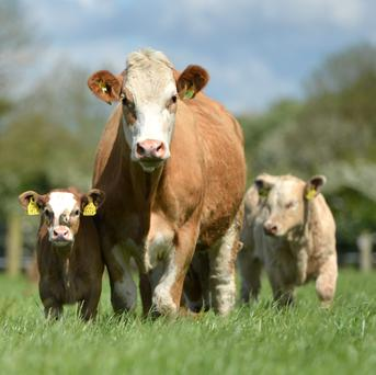 A key aspect of a profitable suckler cow is the ability to wean a calf that weighs at least 350kg throughout her lifetime.