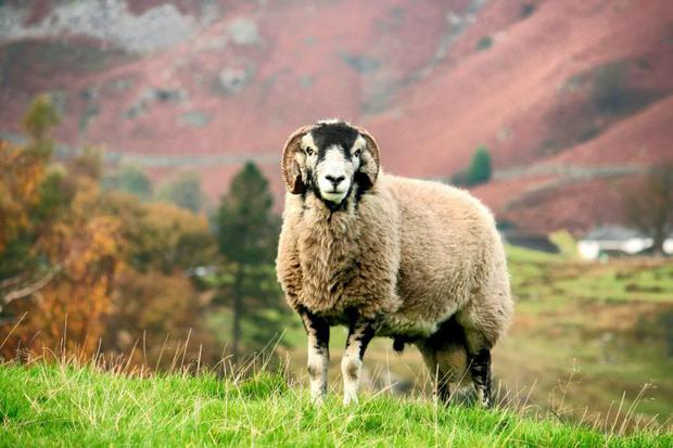 Countdown: Checks should take place on rams at least ten weeks before the breeding season