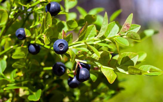 The fraughan or bilberry thrives in bog and mountain soils