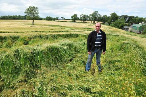 Down but not out: Carlow cereal grower, Ivan Holden, in a field of spring barley partially flattened by the heavy rains of recent weeks. However, Mr Holden is hopeful that losses will be minimal, and is happy with excellent yields so far in his winter barley crops. Photo: Roger Jones