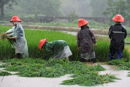 Farmers rush to transplant paddy on a flooded field amid heavy rainfall in Zhuzhou, Hunan province, China, July 24, 2015. Approximately a million people have been affected by severe downpours in several Chinese provinces, causing collapsed houses, decimating crops as well as blocking highways. Photo: Reuters